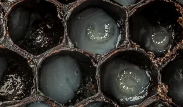 Šedesáti sekundové video odhaluje prvních 21 dní života včely